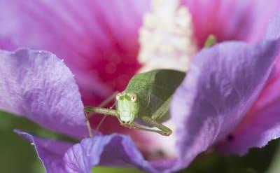 Hallan extraño saltamontes rosado en un jardín en Texas (FOTOS)