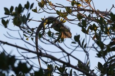 Crónica arrestan hispano iguanas: Hasta se han convertido en un verdadero dolor de cabeza