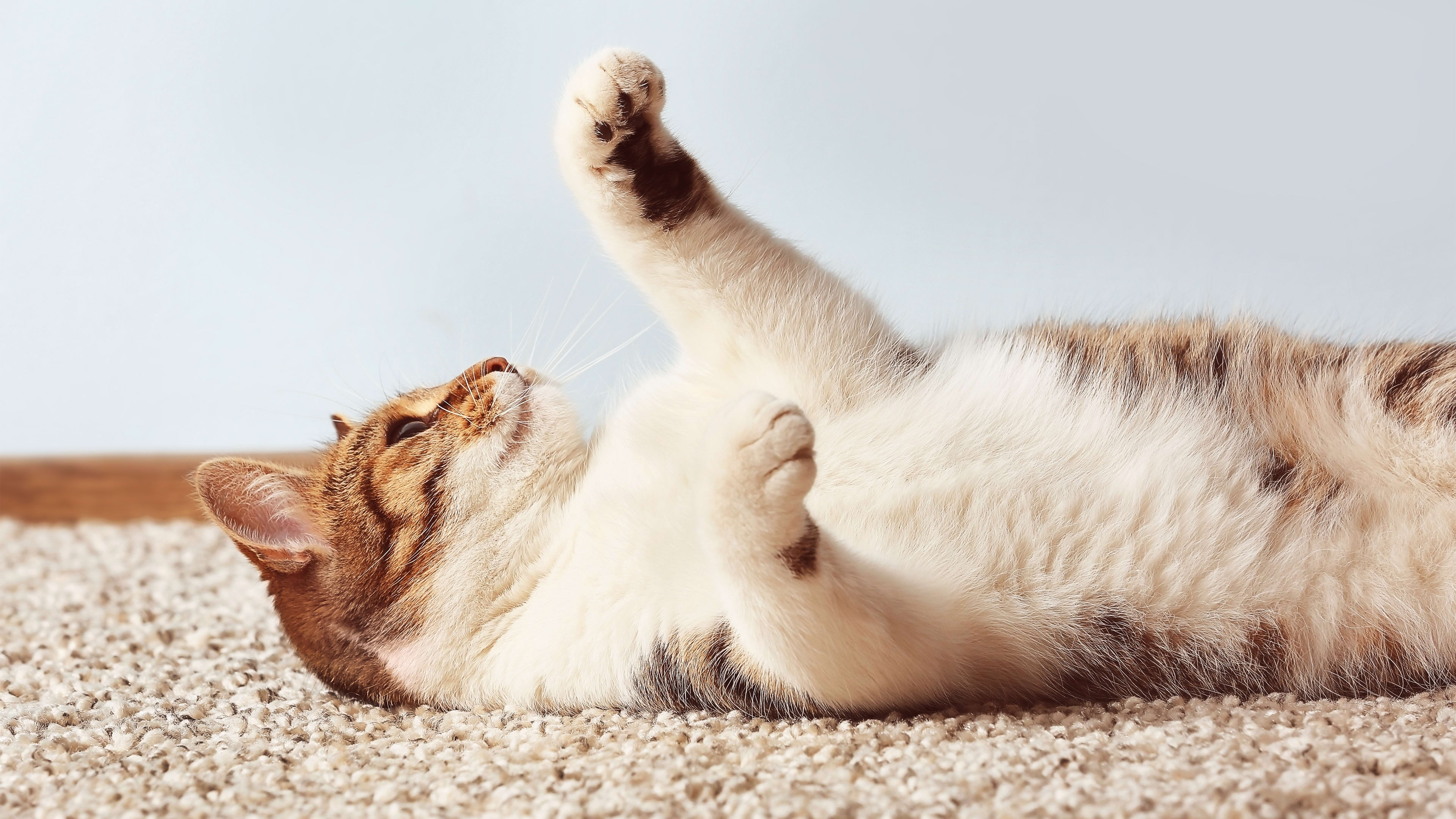 How To Get Cat Pee Smell Out Of Your Carpet A Helpful Guide