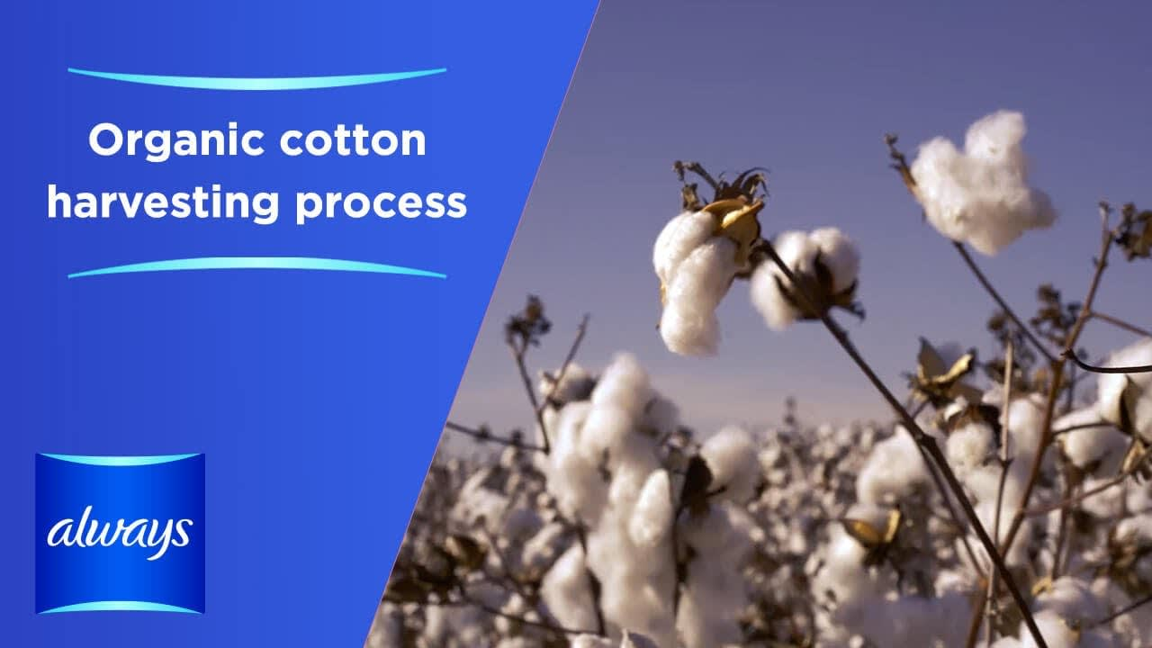 Organic cotton harvesting process