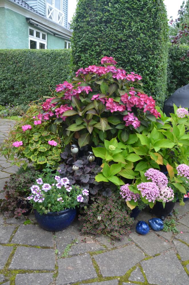 Forskellige hortensia - foto: Haveselskabet