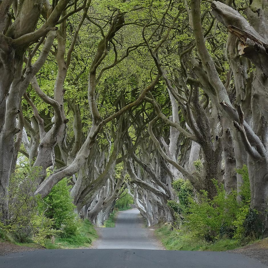 Den skumle Dark Hedges-tunnel nær Armoy, County Antrim. Foto: Colin Park – Wikimedia Commons / CC BY-SA 2.0