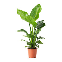 STRELITZIA  Potted plant Bird of paradise £19