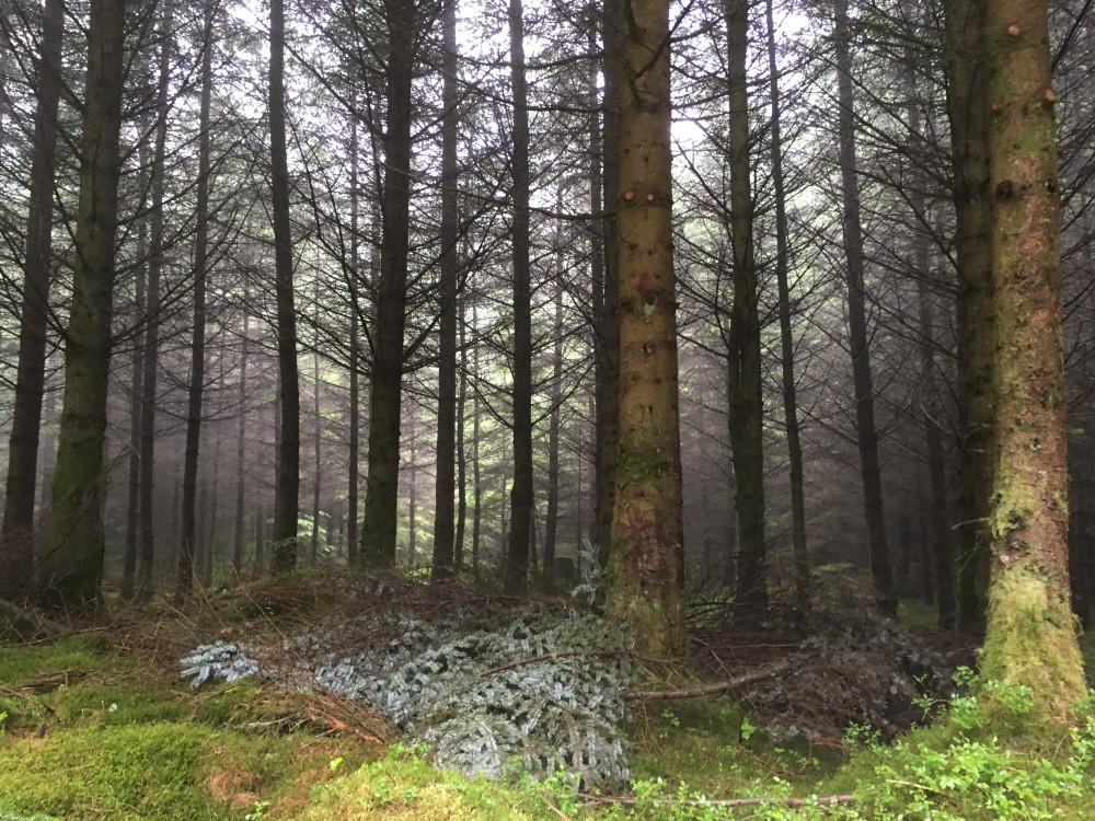 Misty morning in Whinlatter Forest