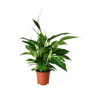 SPATHIPHYLLUM Potted plant £7.50