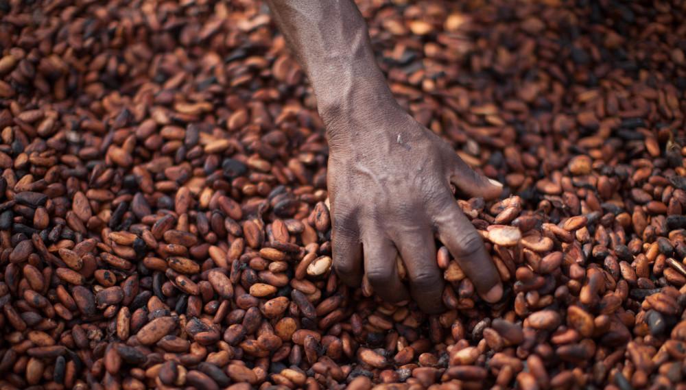 Att kunna leva på sitt arbete som kakao-odlare är ingen självklarhet. Foto: Fairtrade.