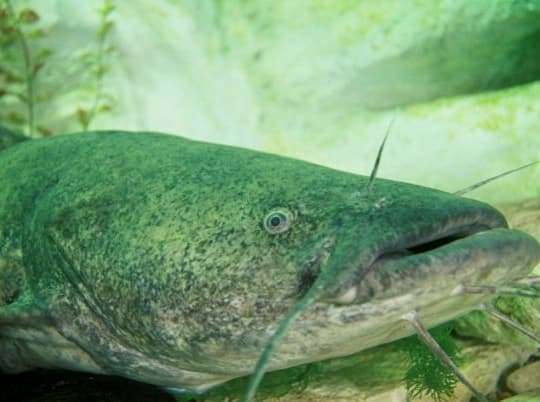 The Record Flathead Catfish For Every State In America