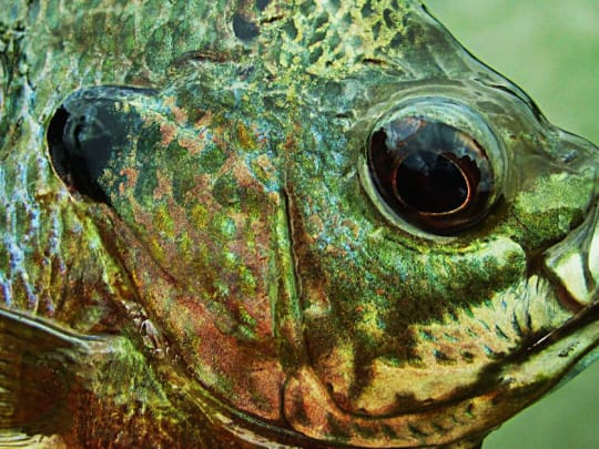 How To Catch Bluegill This Spring