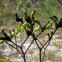 Macropidia fuliginosa Black Velvet PBR