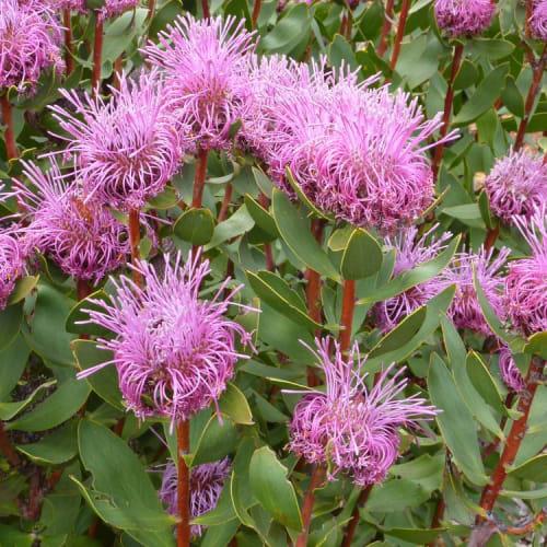 Stirling Range Cone Flower