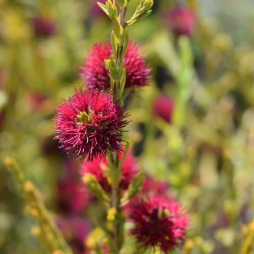 Purple Beaufortia