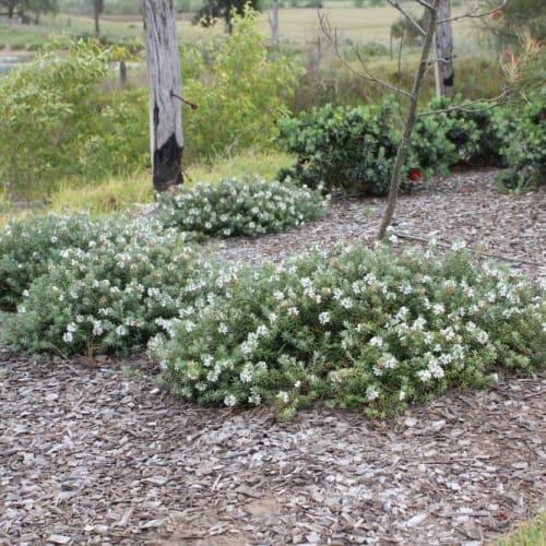 Westringia fruticosa Low Horizon PBR