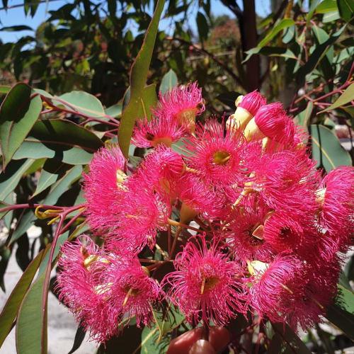 Magenta Flowering Gum