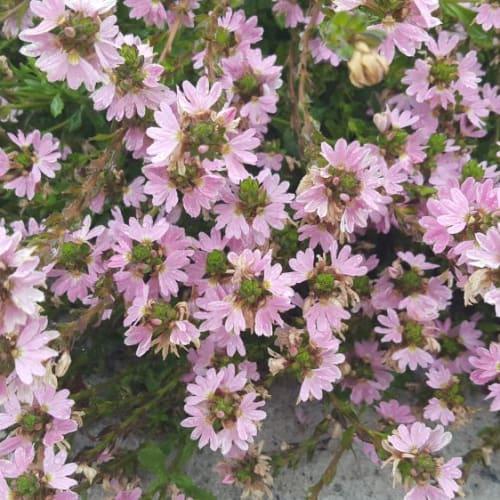 Dainty Lady Fan Flower