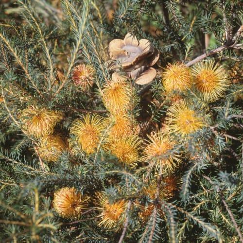 Rose Banksia