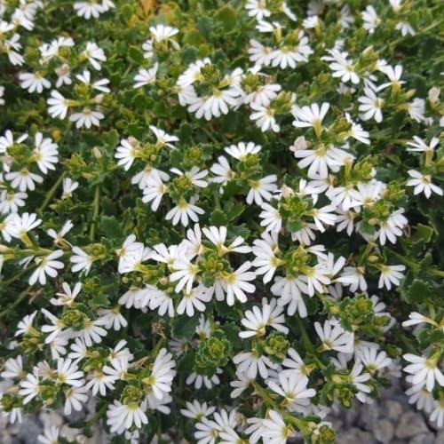 White Carpet Fan Flower