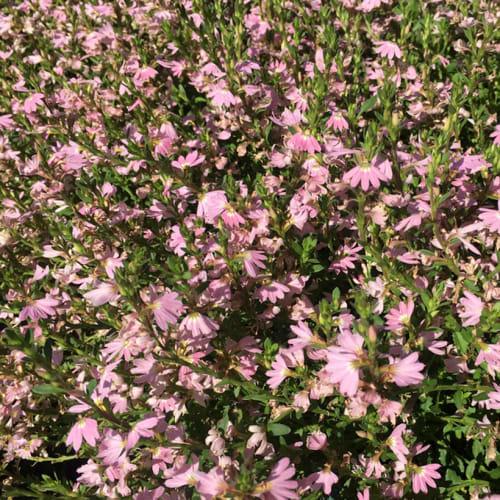 Pink Fan Flower
