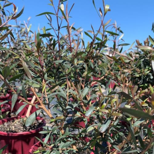 Burgandy Beauty Tea Tree