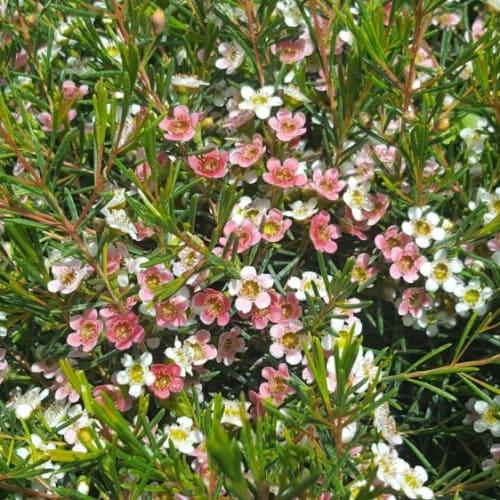 My Sweet 16 Wax Flower