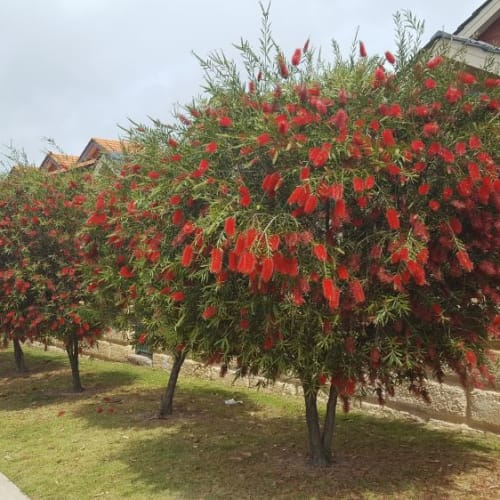 Kings Park Special Bottlebrush