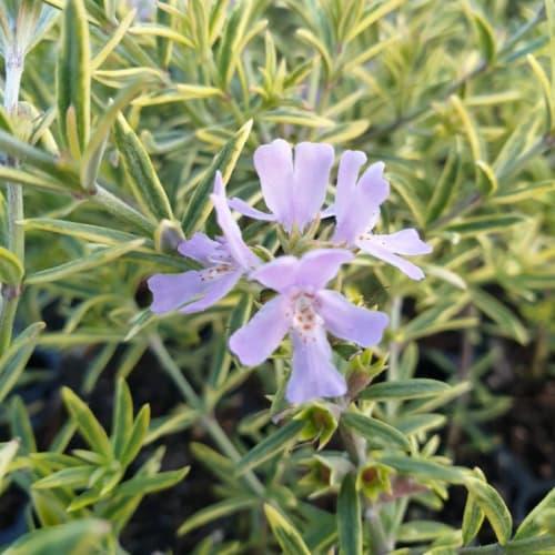 Westringia brevifolia Lilac and Lace
