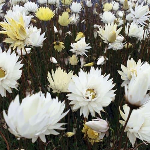 Silky White Everlasting