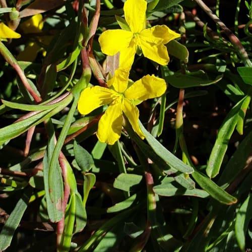 Hibbertia subvaginata