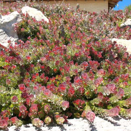 Coral Carpet Jugflower
