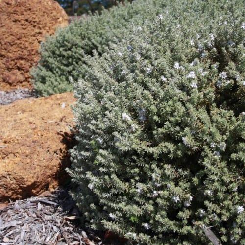 Smokey Coastal Rosemary