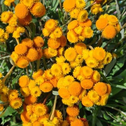 Chrysocephalum apiculatum Cate's Orange