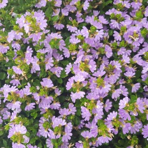 Mauve Clusters Fan Flower