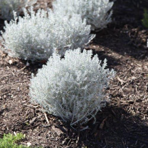 Capeselect Cushion Bush