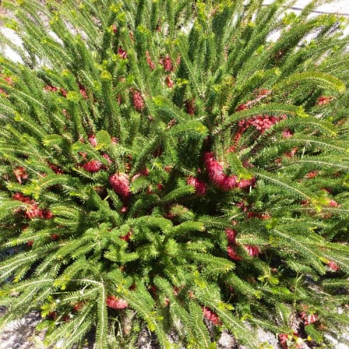 Clean and Green One Sided Bottlebrush