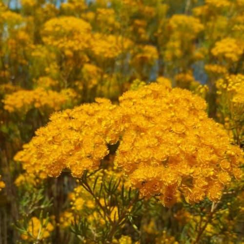 Morrison Featherflower