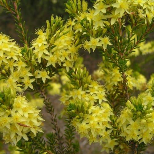 Yellow Starflower