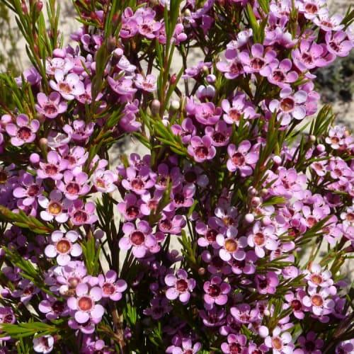 Purple Pencil Wax Flower
