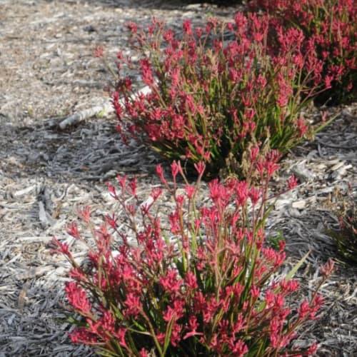 Bush Pearl Kangaroo Paw