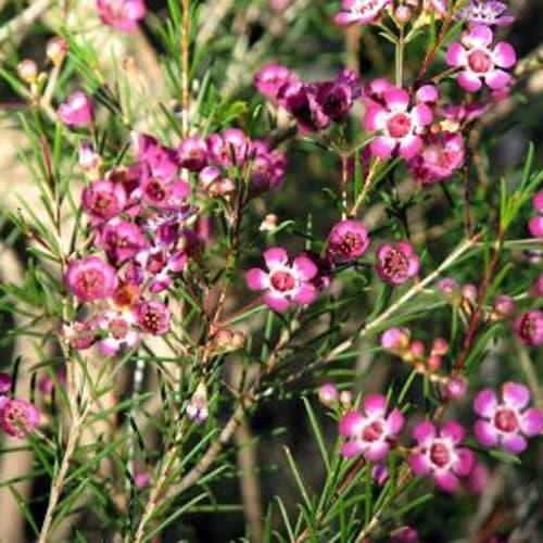Purple Pride Wax Flower