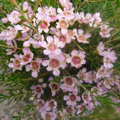 Beach Ball Pink Wax Flower