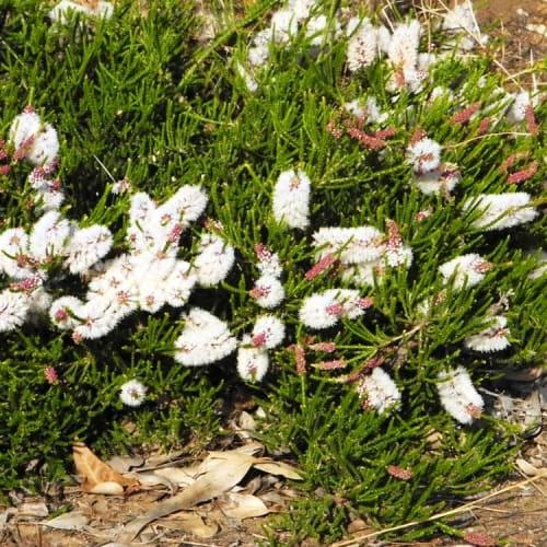 Melaleuca huegelii Prostrate
