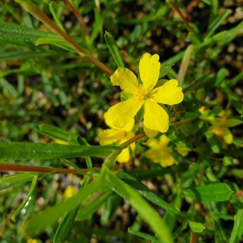 Stalked Guinea Flower