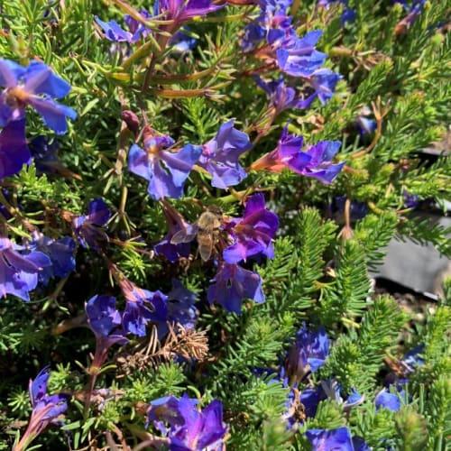Violet Rainbow Lechenaultia