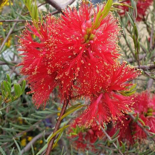 Scarlet Honeymyrtle