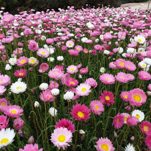 Pink & White Everlasting
