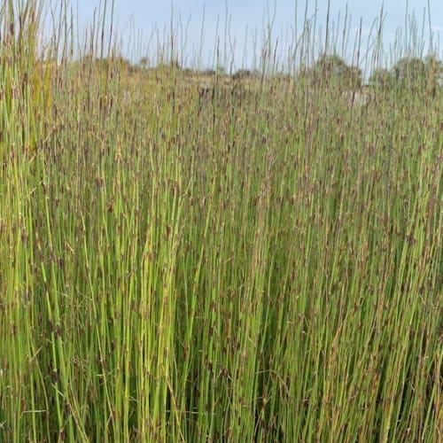 Meeboldina cana syn. Leptocarpus canus