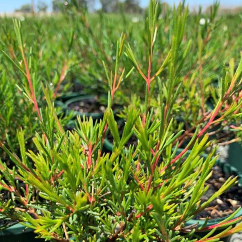 Chamelaucium hybrid Nina's Delight PBR