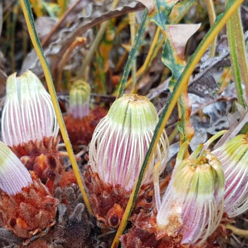 Drummond's Banksia