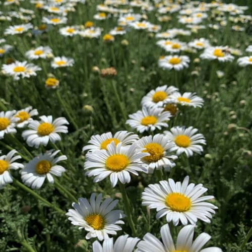 Brachyscome diversiflora Whitewash