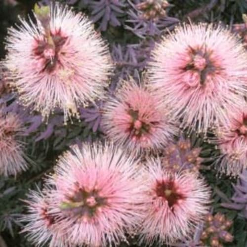 Solomon's Pink'