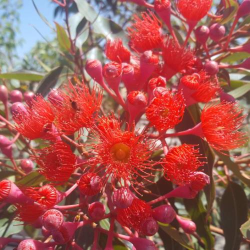 Plantrite Red Flowering Gum